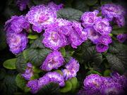 25th Feb 2020 - Primula vulgaris