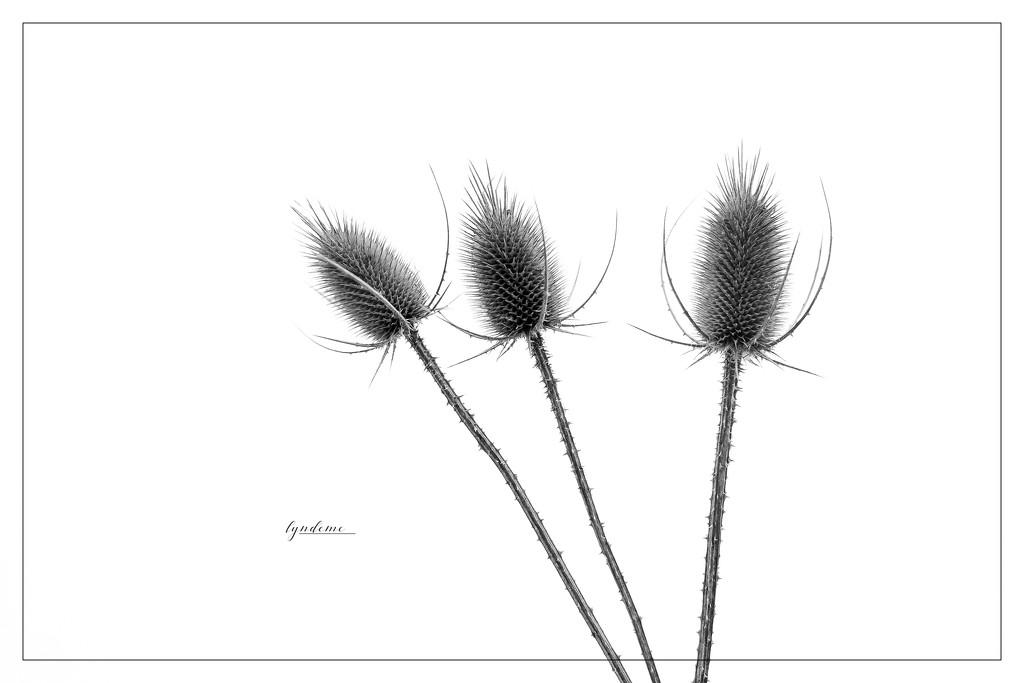 Prickly by lyndemc