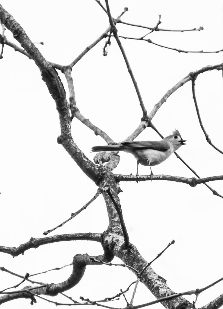 Tufted Titmouse in high key by mzzhope