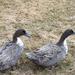 Neighbor's Ducks