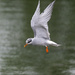 Black fronted tern by maureenpp