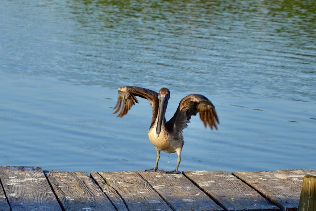 """Ah, the Pelican """"wave"""" by louannwarren"""