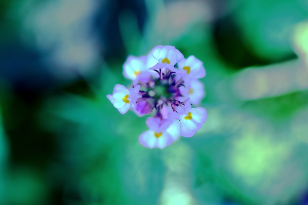 linaria by blueberry1222