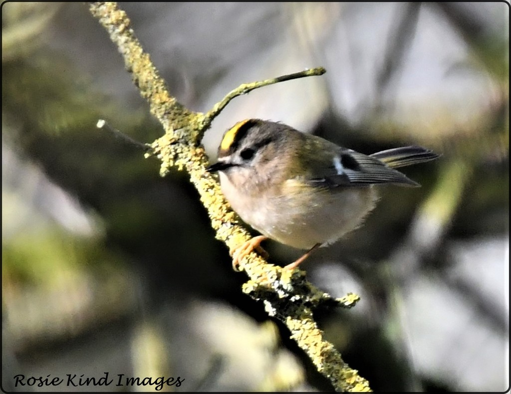 Goldcrest by rosiekind