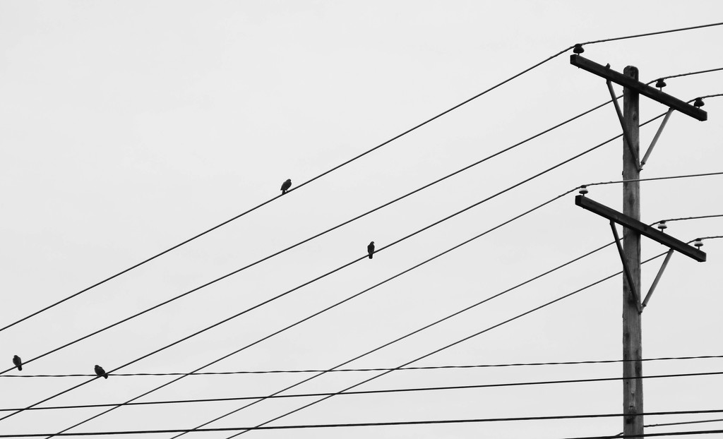 Birds on a wire by mittens