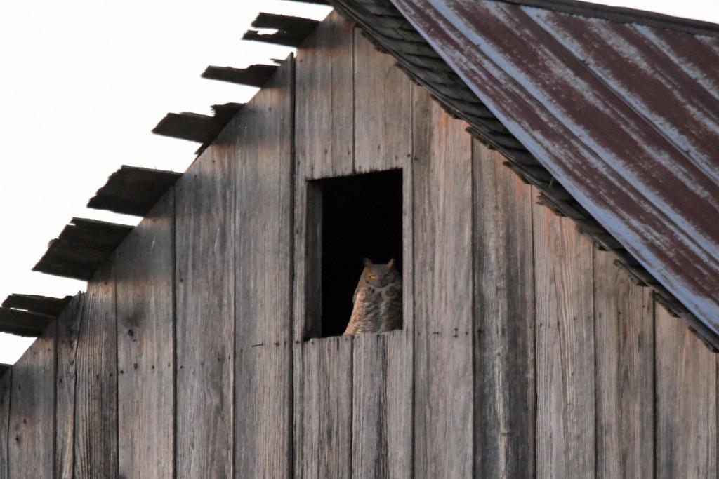 Great Horned Owl in Barn Window by kareenking