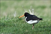25th Feb 2020 - Oyster catcher