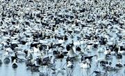 24th Feb 2020 - Snow Geese