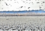 23rd Feb 2020 - Snow Geese Migration