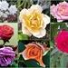 Beautiful Roses ~