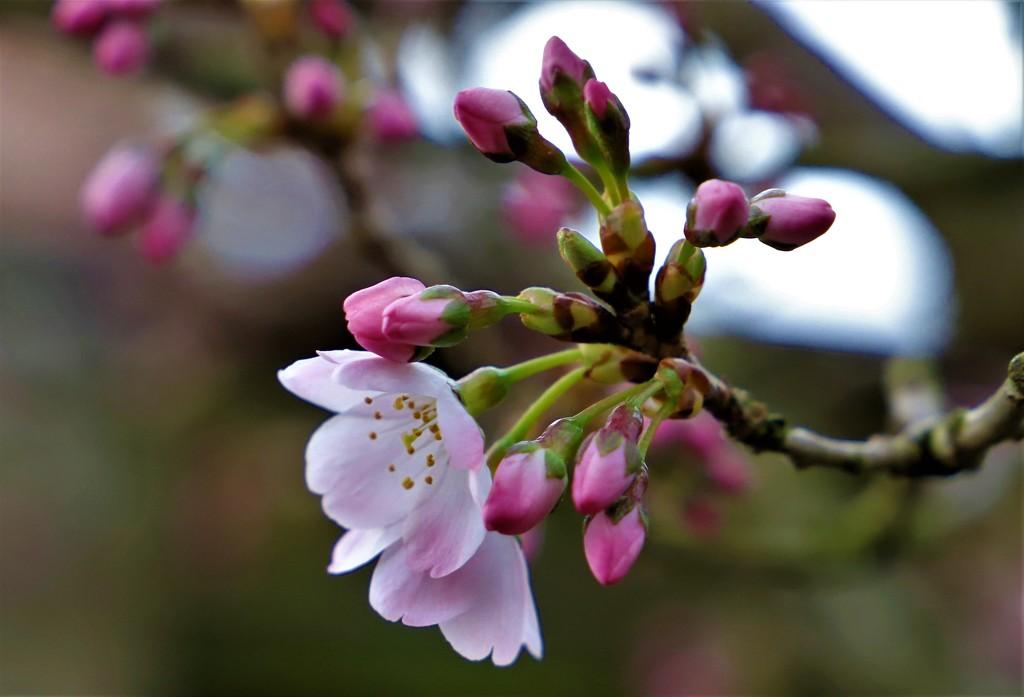 Cherry Blossom by carole_sandford