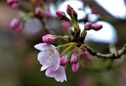 25th Feb 2020 - Cherry Blossom