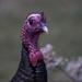 A turkey on Tuesday