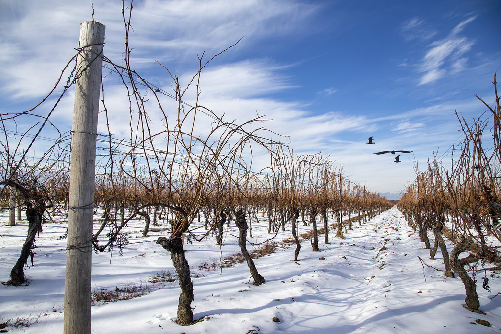 Winter Vines in Niagara-on-the-Lake by pdulis