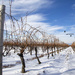 Winter Vines in Niagara-on-the-Lake