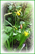 26th Feb 2020 - Daffs and tulips