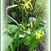 Daffs and tulips