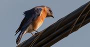 25th Feb 2020 - Bluebird on the Big Wire!
