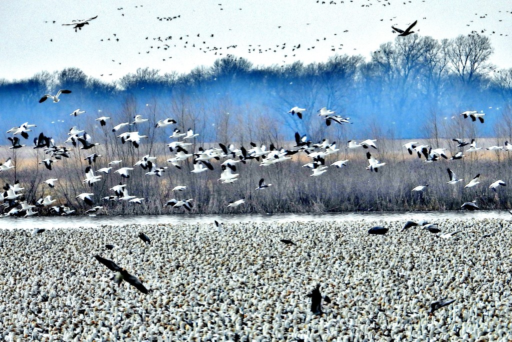 Snow Geese Migration Near Missouri River by lynnz