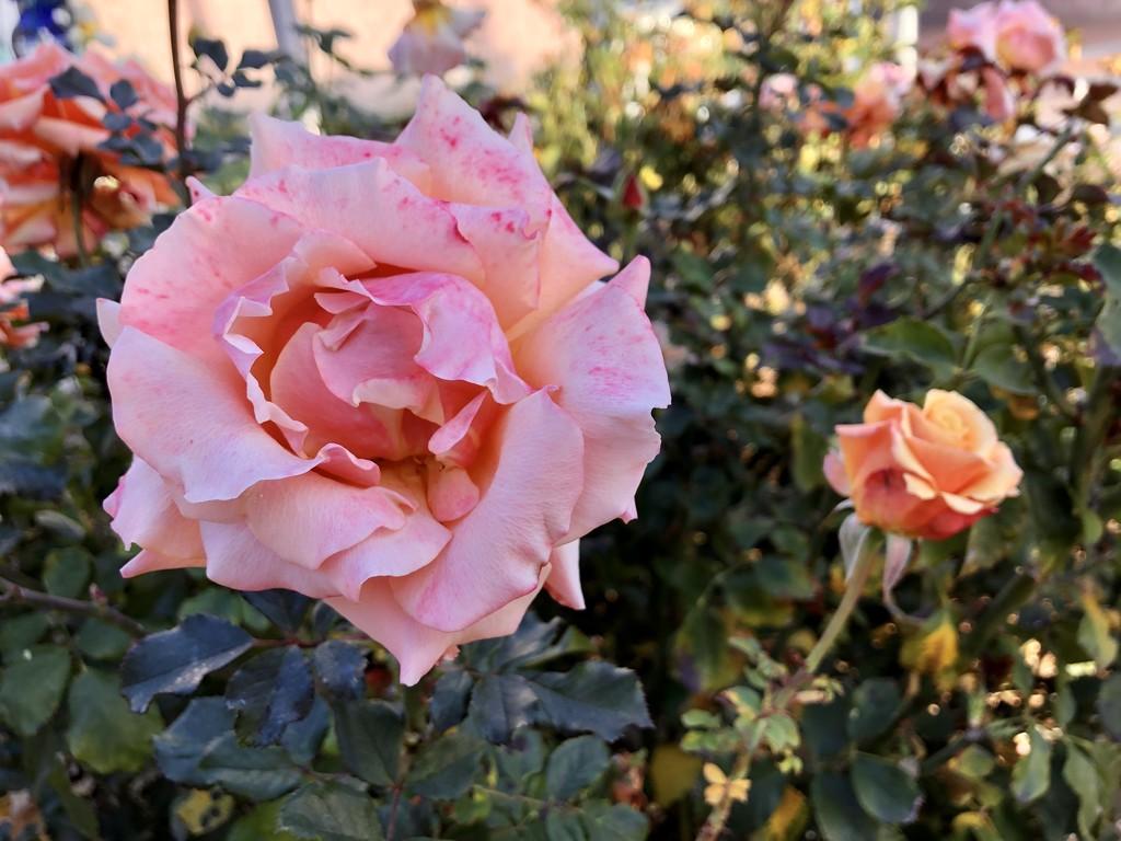 Rose 3 by loweygrace