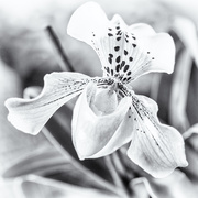 27th Feb 2020 - Slipper Orchid