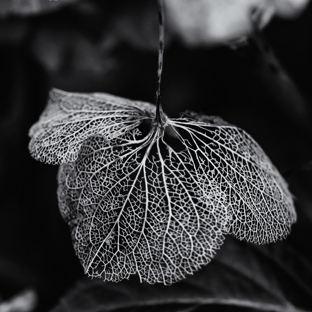 Hydrangea skeleton Low Key by pamknowler