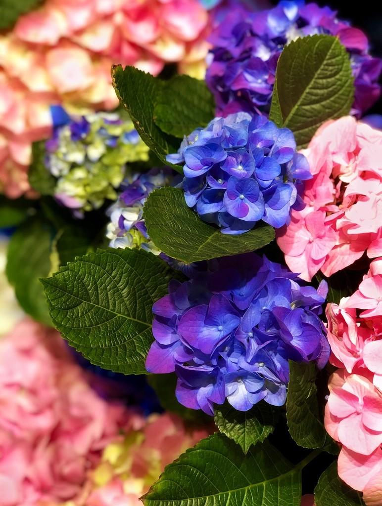 Buy the Hydrangea by gardenfolk