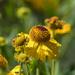 Dwarf sunflowers?