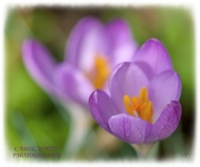 26th Feb 2020 - Crocus