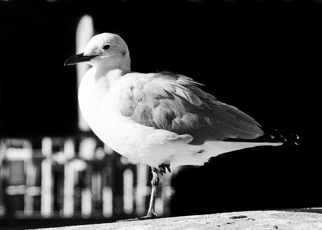 Sea Gull by salza