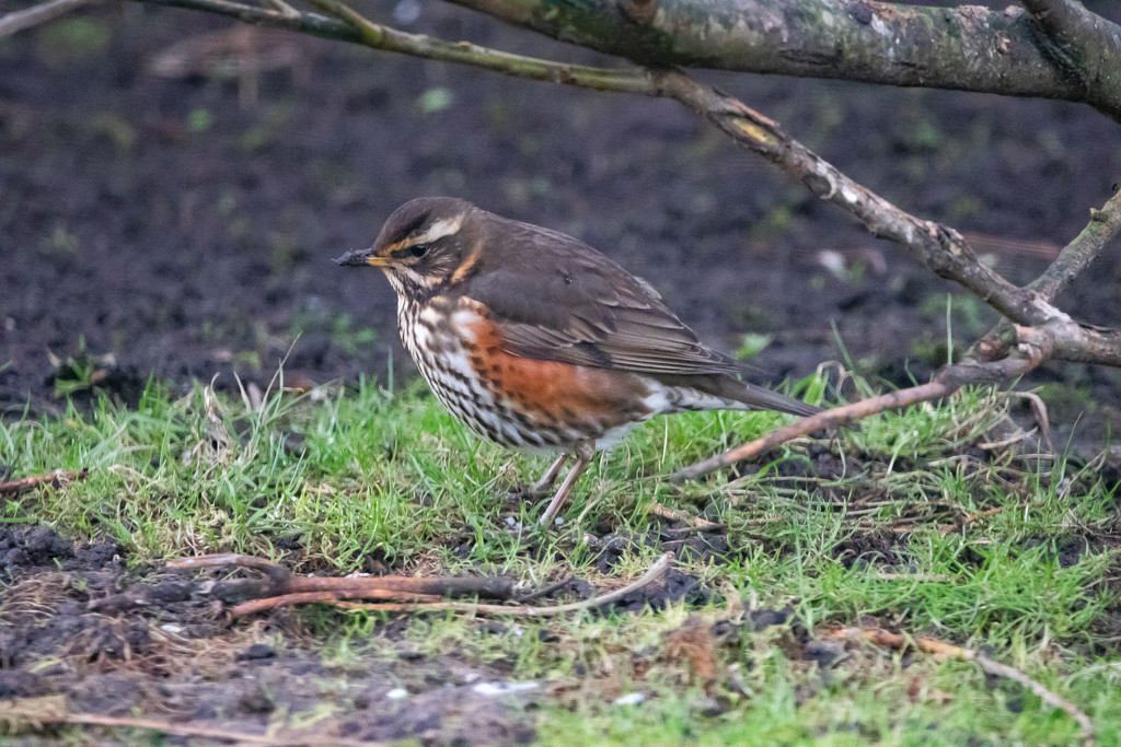 Redwing by lifeat60degrees