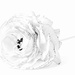 ranunculus no. 3 by jernst1779