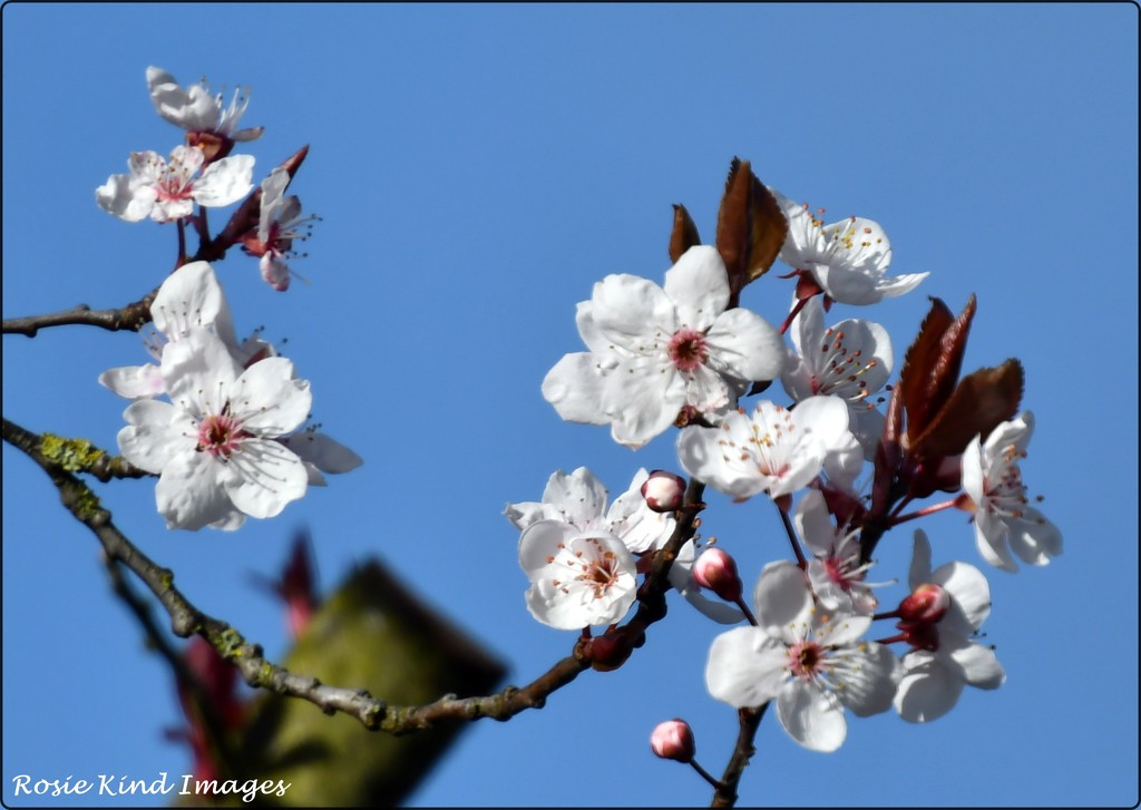 Blossom in a blue sky by rosiekind