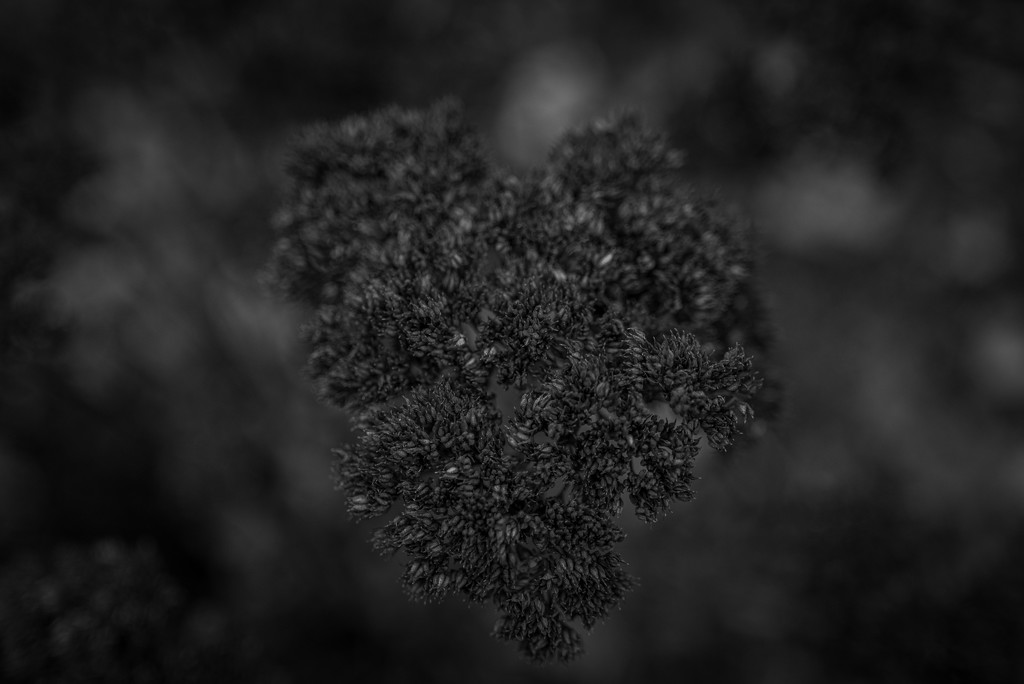 b&w lowkey sedum by jackies365