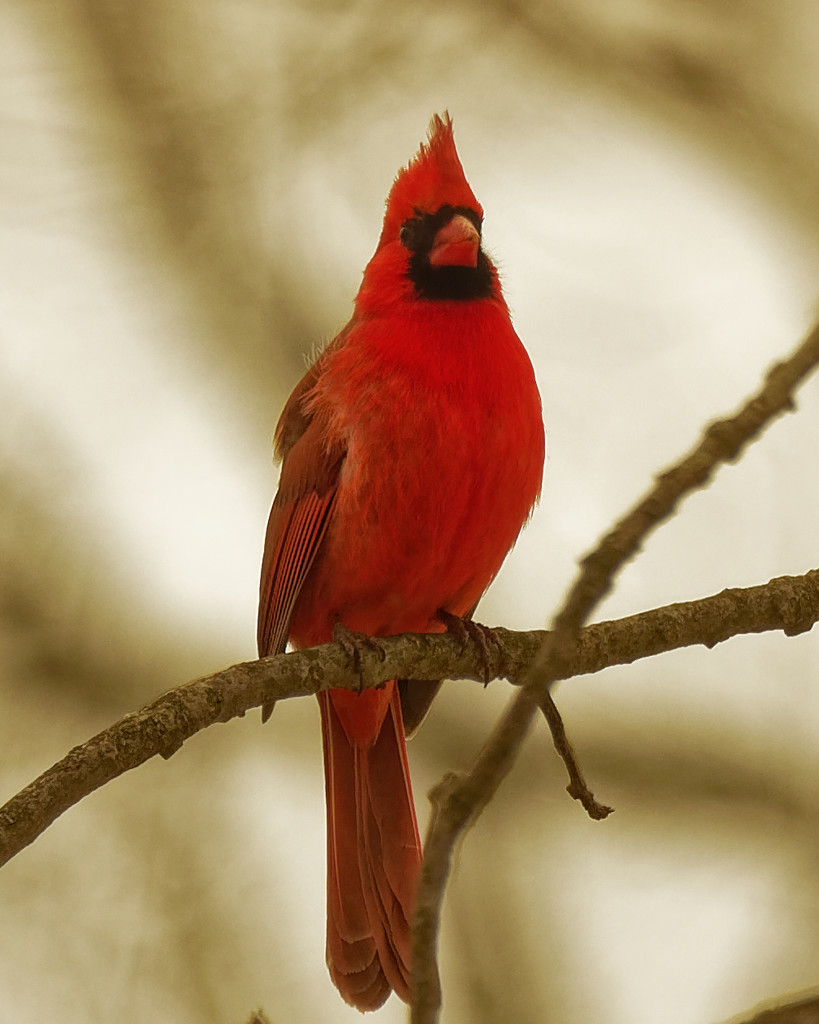 northern cardinal 3 sepia by rminer