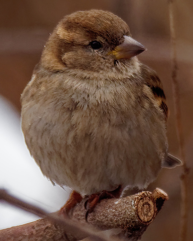 house sparrow closeup by rminer