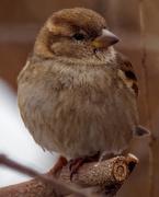 26th Feb 2020 - house sparrow closeup