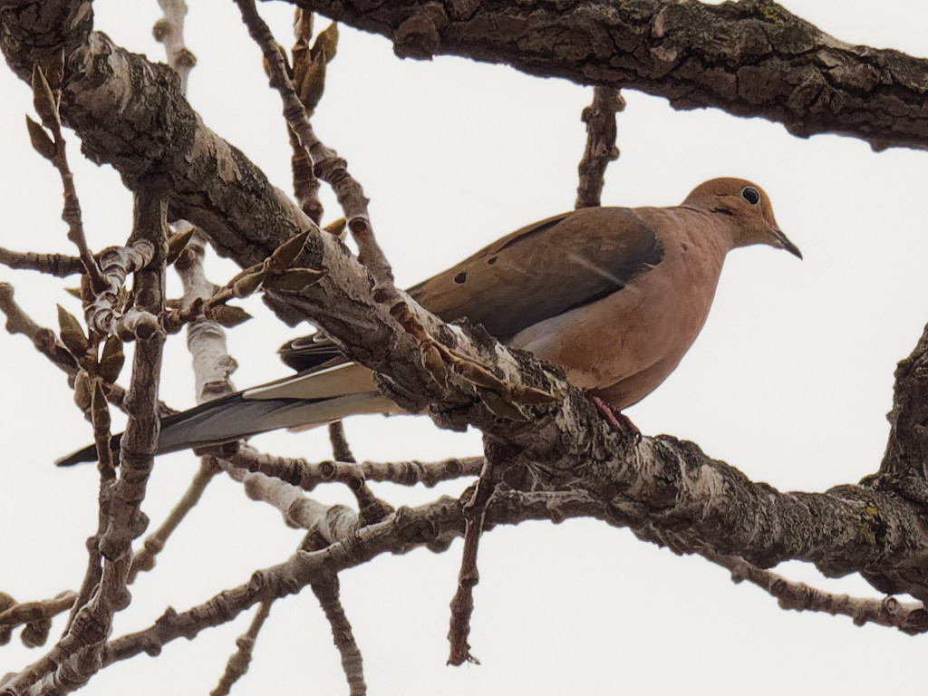 mourning dove branch by rminer