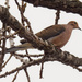 mourning dove branch