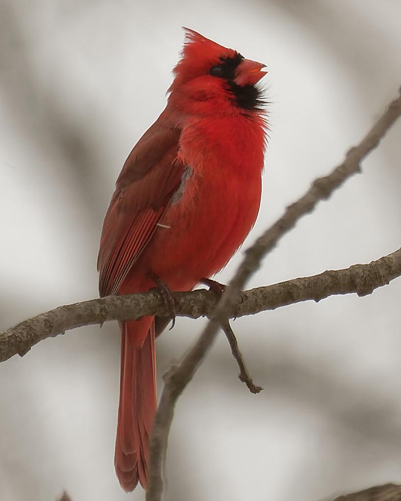 northern cardinal sings by rminer