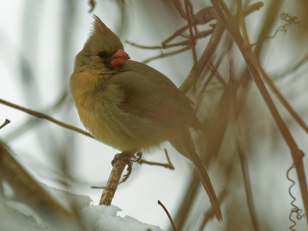 northern cardinal  by rminer