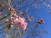 26th Feb 2020 - Pretty blossom and beautiful blue skie!