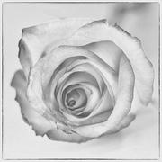 26th Feb 2020 - One White Rose