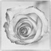 One White Rose by milaniet
