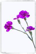 24th Feb 2020 - Carnations