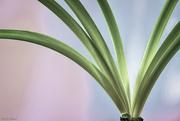 26th Feb 2020 - Amaryllis Leaves