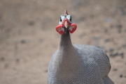 27th Feb 2020 - February Series - A month of Guinea Fowl (27)