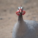 February Series - A month of Guinea Fowl (27)