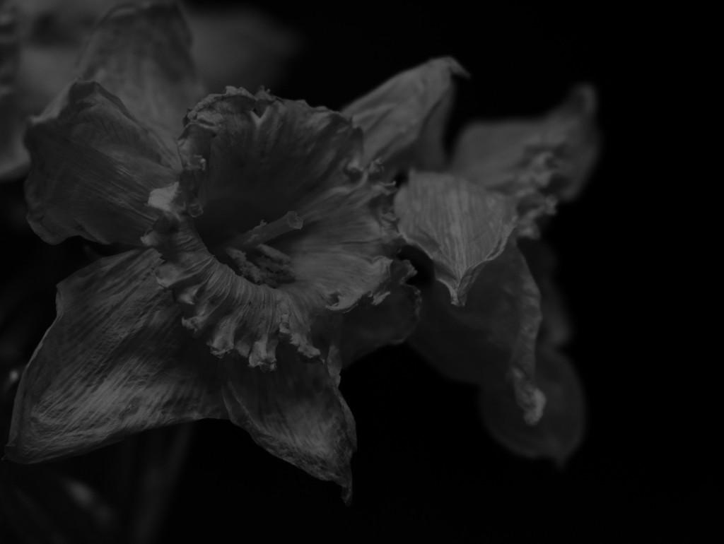 Low Key Daffodils by homeschoolmom