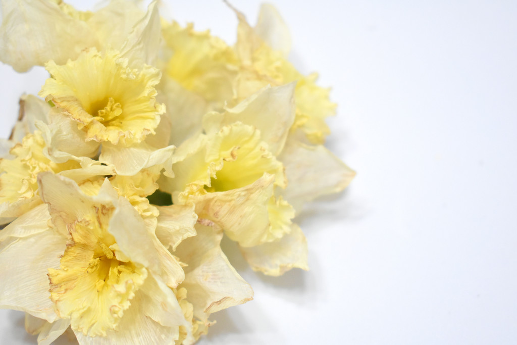A bunch of daffodils by homeschoolmom